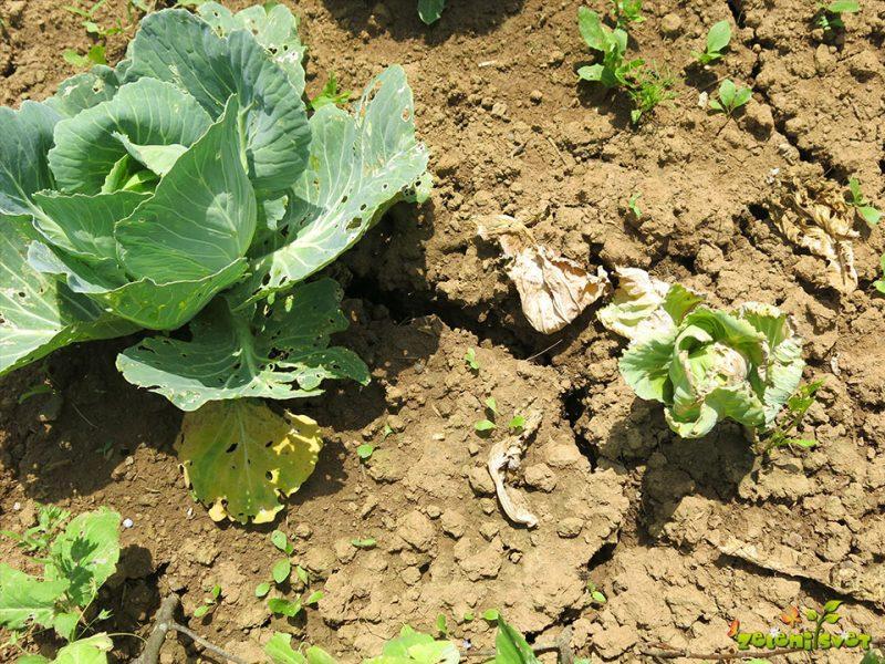 Kako pomagamo rastlinam v vročinskem stresu in po močnih nevihtah?