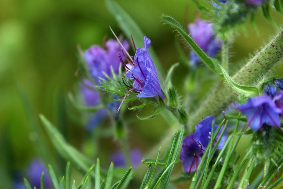 cvet ožepek