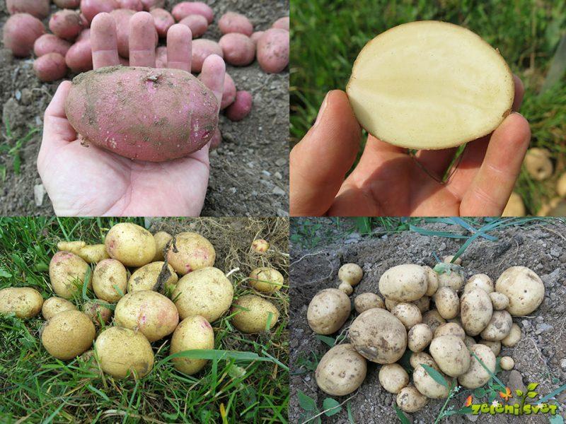 Zmagovalne sorte krompirja za vrtičkarje