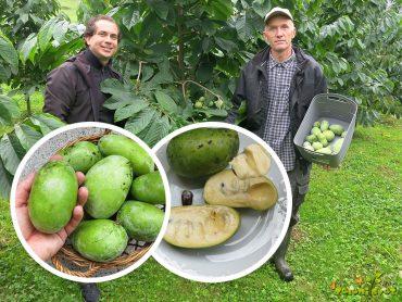 Asimina Prima, sladka svežina tropskega okusa