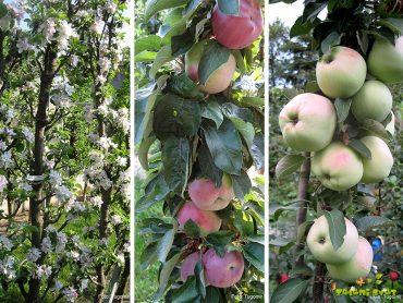 Stebričaste češnje, jablane, hruške za žive meje, vrt, visoke grede in posode