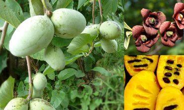 Sorte in sadike asimine, ki rodijo okusne, velike plodove