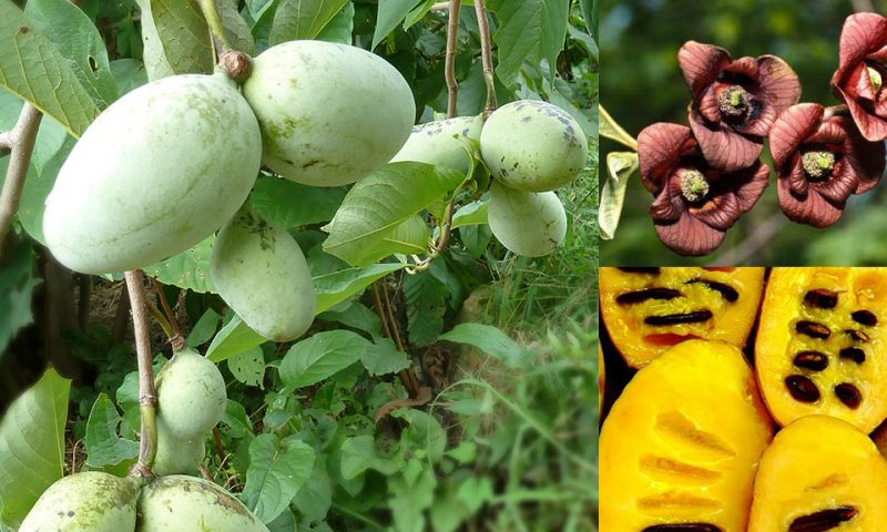 Asimina-sajenje, sorte in sadike, ki rodijo okusne, velike plodove