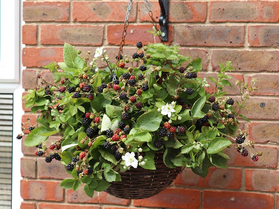 Viseča robida je odlična za posode, visoke grede in vrt