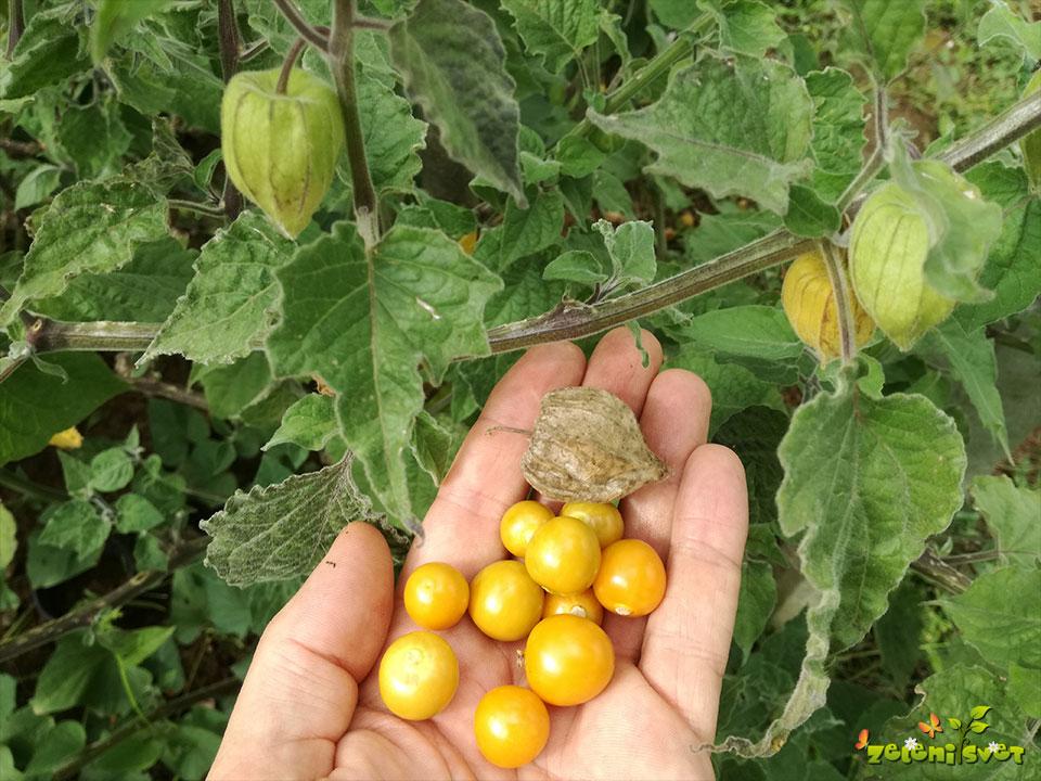 andska jagoda sadika