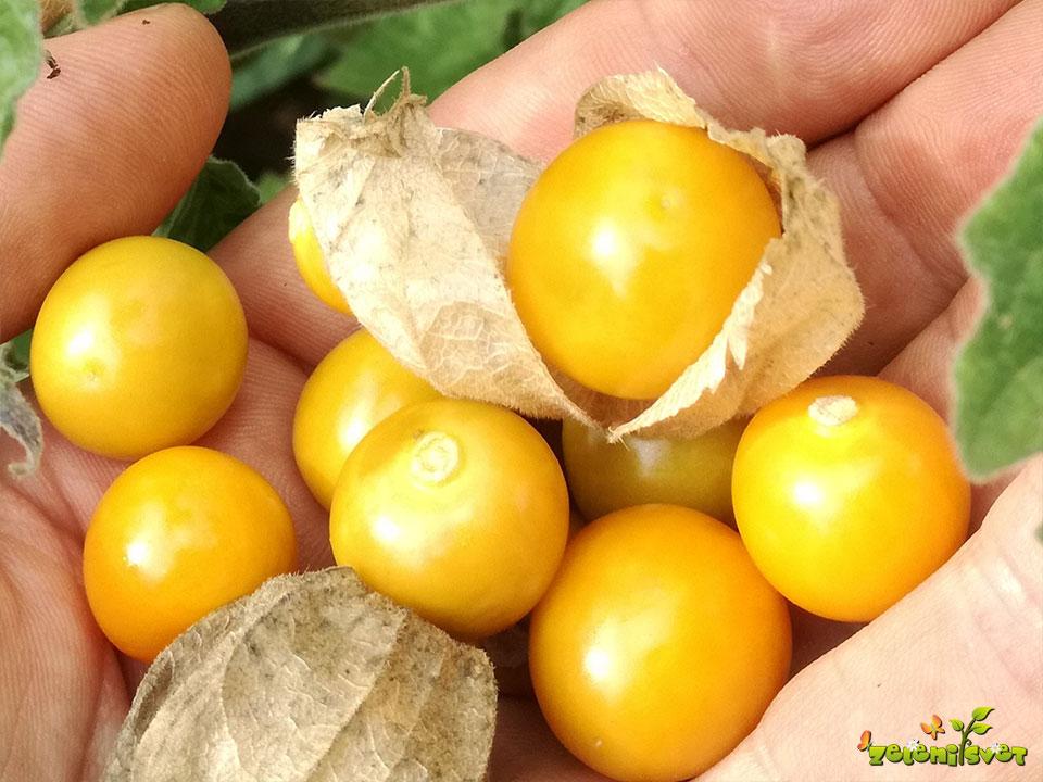 andska jagoda plod