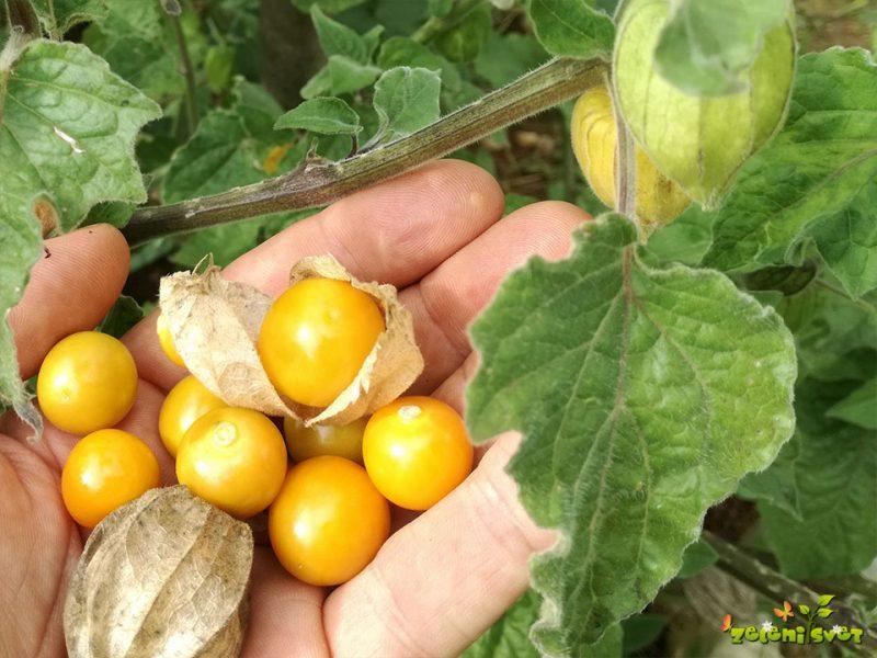 Andska jagoda ali perujsko volčje jabolko z domačega vrta