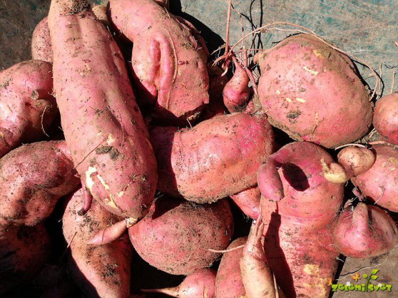 Sladki krompir ali batata, okusna kulinarična specialiteta