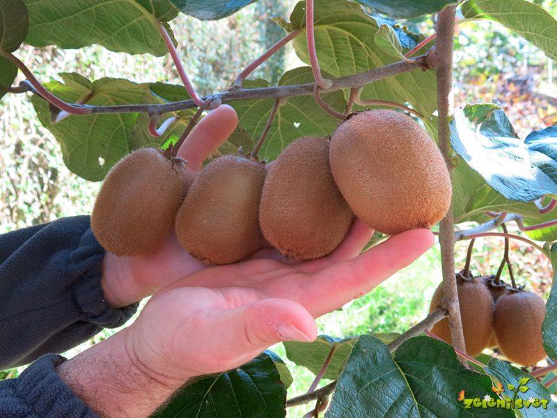 Kdaj obiramo debeloplodni kivi in kako ga skladiščimo?
