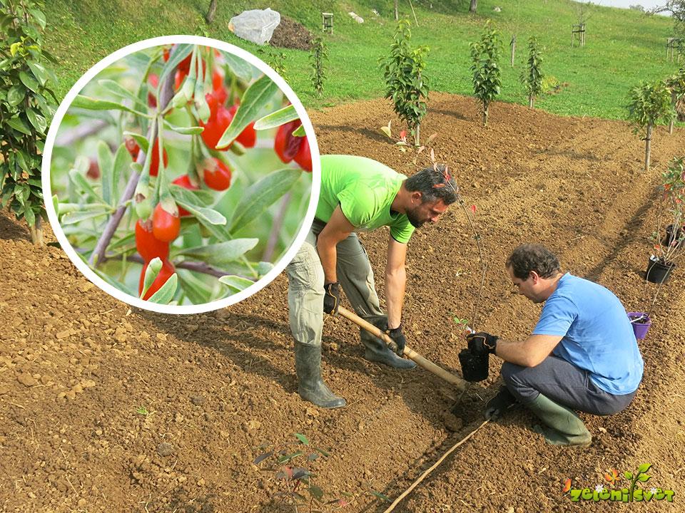 Vpliv jagodičja na splošno zdravje in sajenje v domačem vrtu