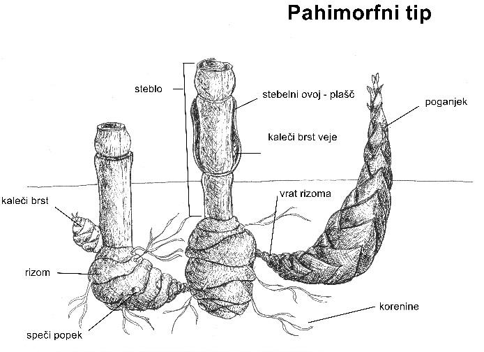 bambus pahimorf