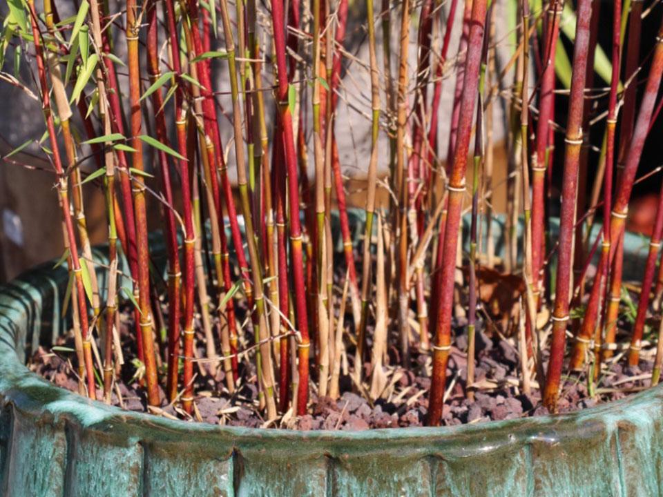 Bambus za vrt in teraso