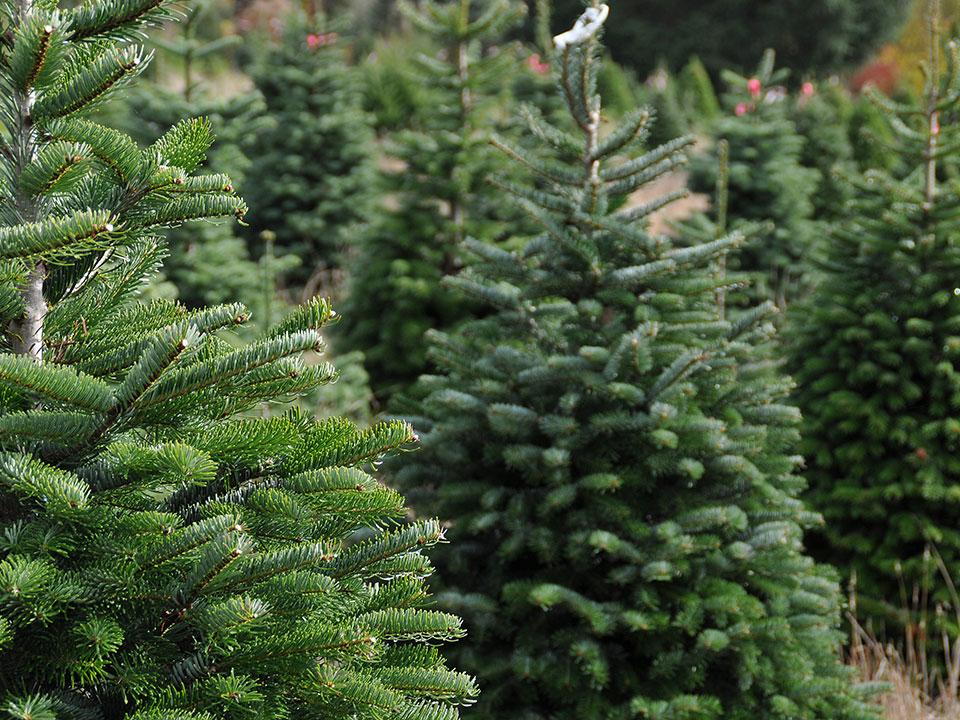 Katero božično-novoletno drevo je ekološko?