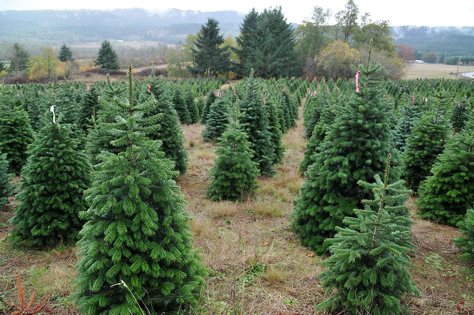 nasad jelk božično drevo