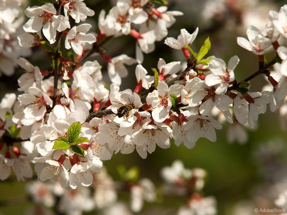 korejska češnja cvet