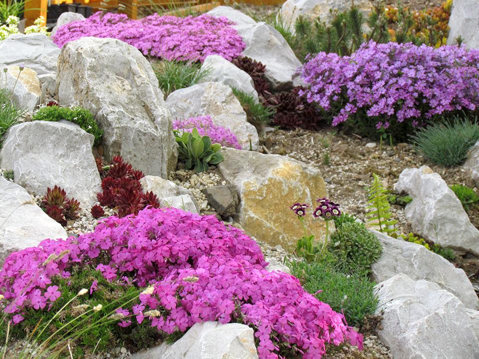 Cvetoče skalovje na vrtu