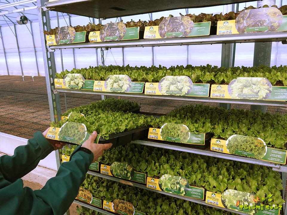 domače sadike