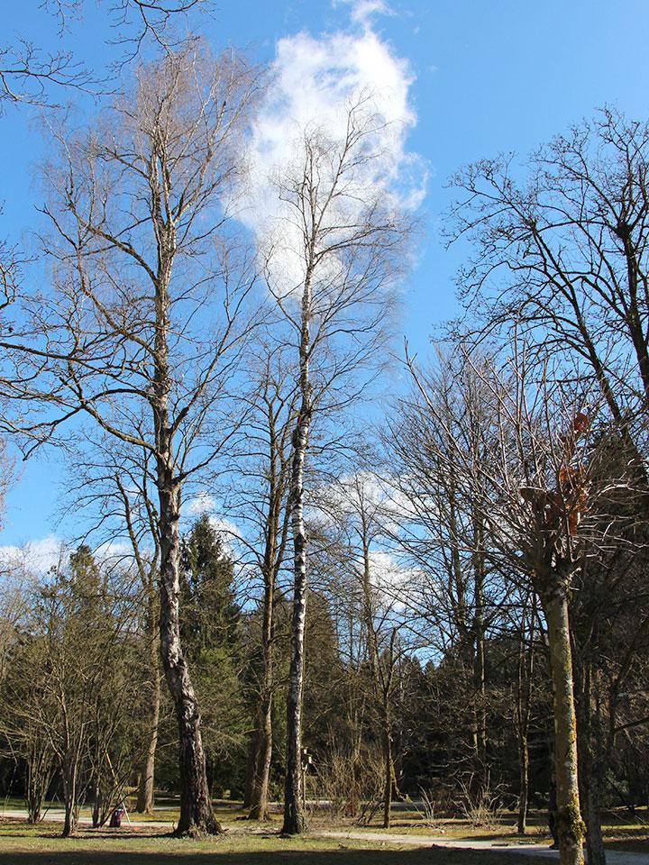 breza po rezi