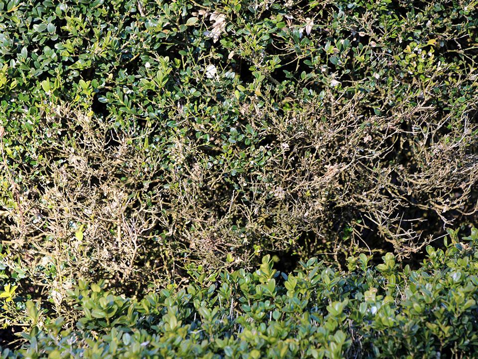 Pušpan, bolezni, škodljivci in nadomestne rastline