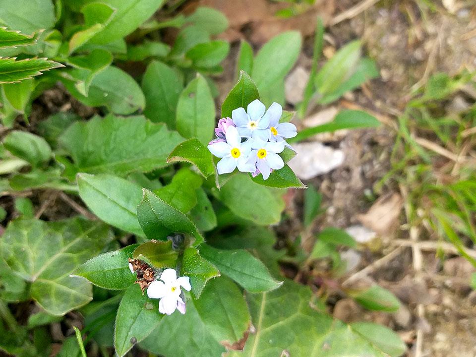 spominčica cvet