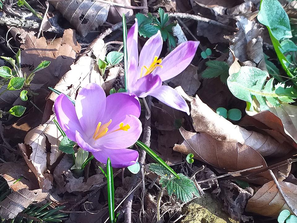 Cvetoče lepotice domačega vrta