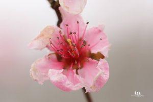 Breskev cvet pozeba