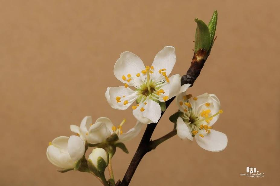 sliva pozeba cvet