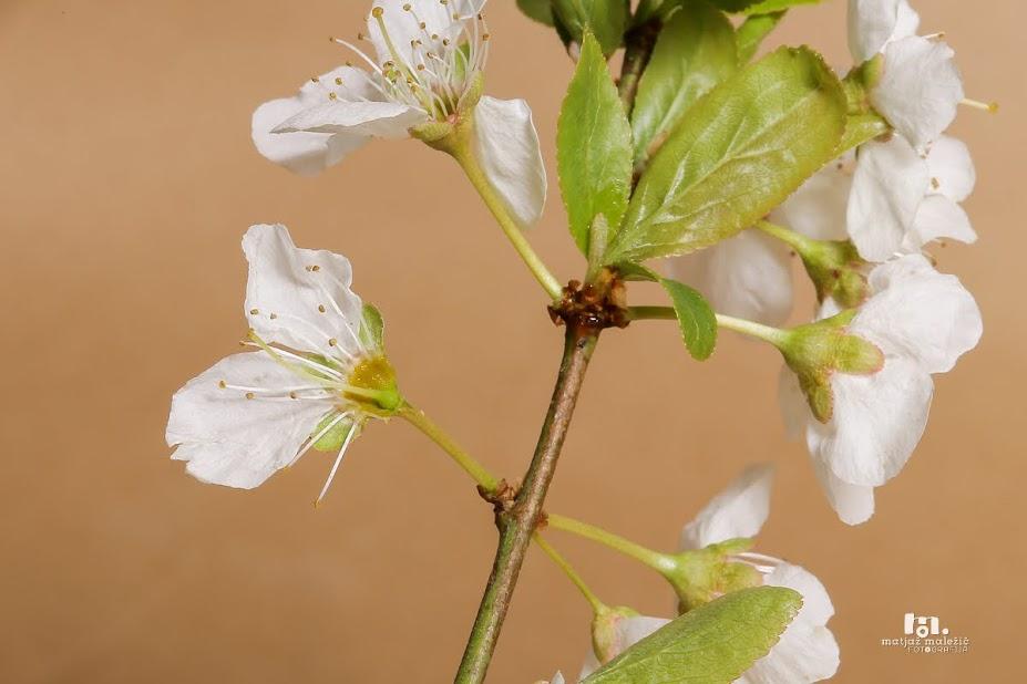 Cvet mirabolana