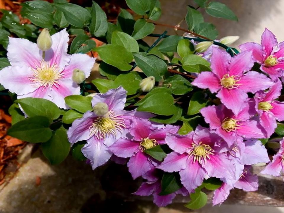 Klematis ali okrasni srobot, bujna cvetoča idila