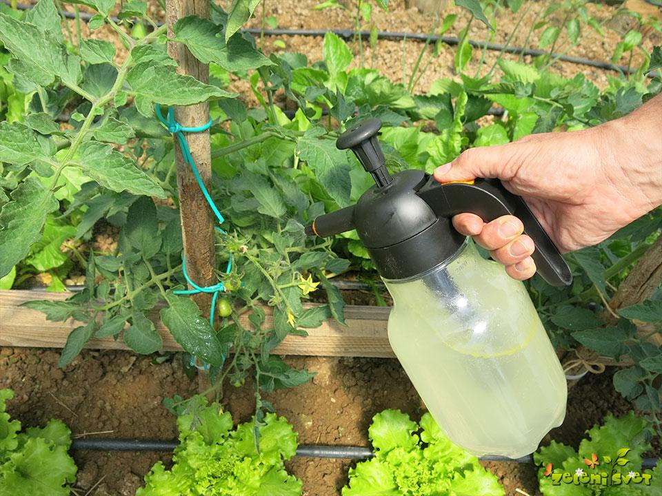 škropljenje paradižnika
