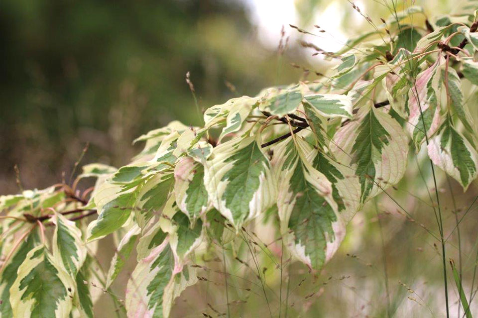 Japonski cvetni dren, sorta Variegata