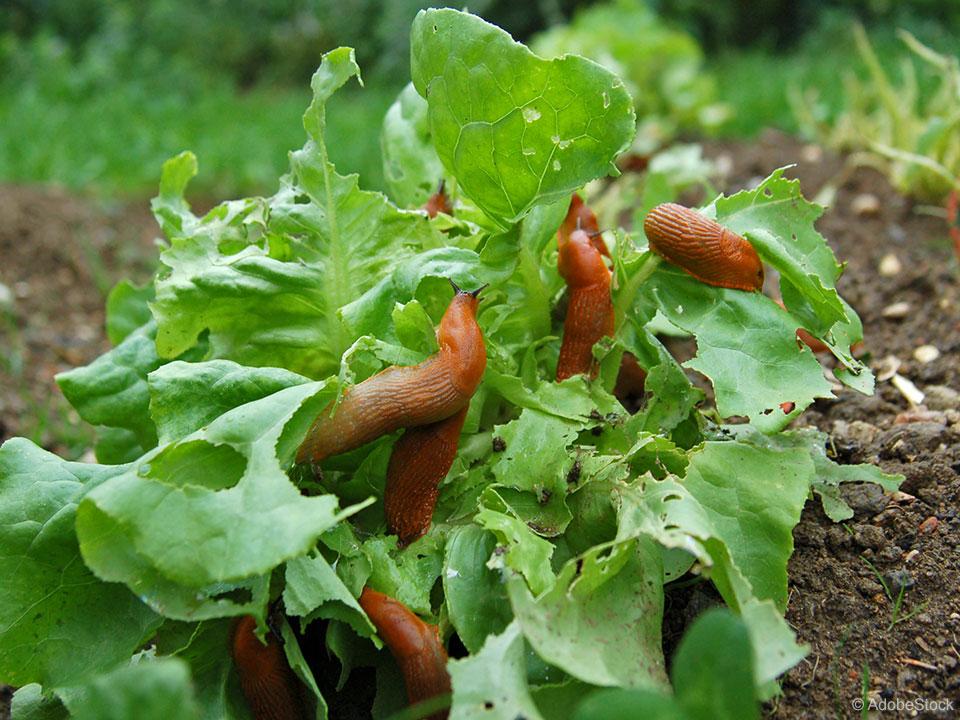 Učinkovito nad polže v domačem vrtu