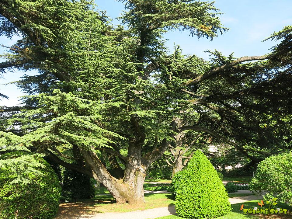 stoletna cedra