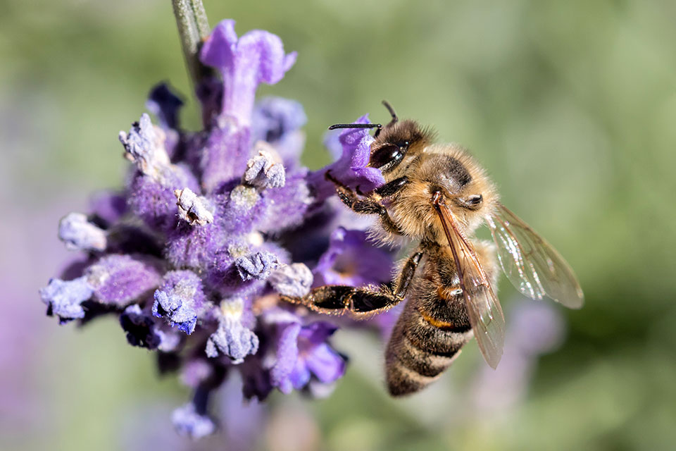 čebela sivka