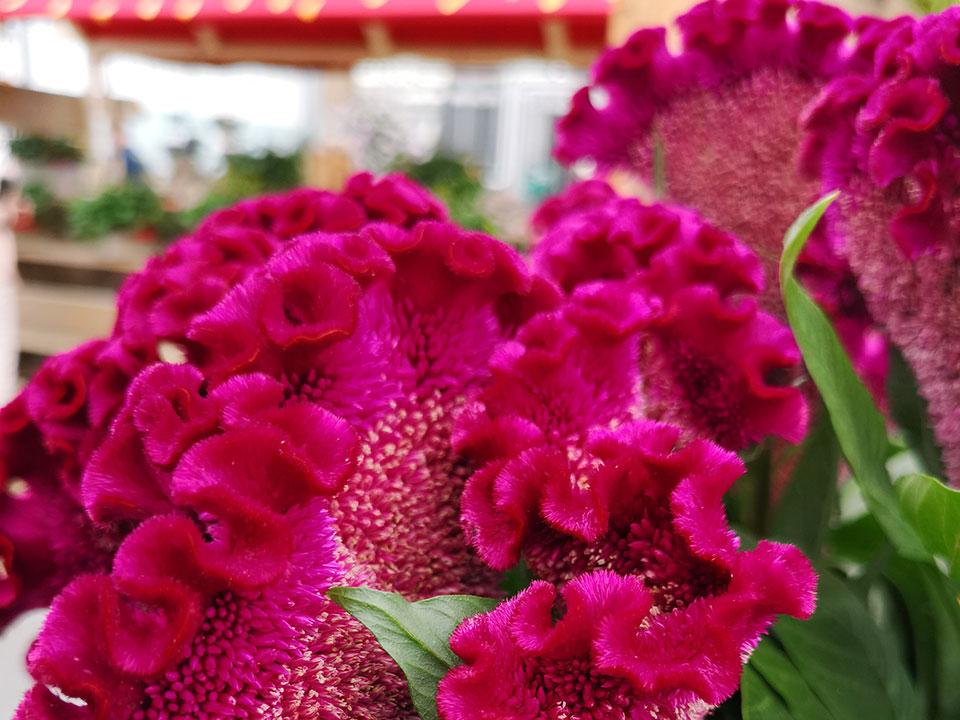 Rastline z nenavadnimi imeni – gospodična pujska, mačji brki, puranov čampelj, petelinji greben