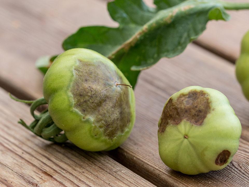 Paradižnik, vzroki in rešitve za črne lise na spodnjem delu ploda