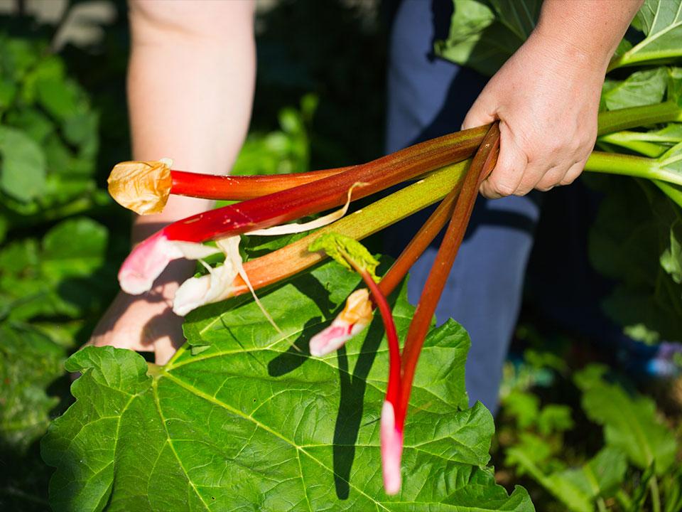 Rabarbara v vrtu, recepti proti boleznim, škodljivcem, zdravje in prehrana