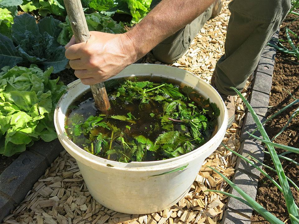 Recept za gnojilo iz kopriv in odganjanje uši, pršic
