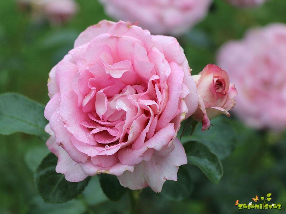 vrtnica prešeren