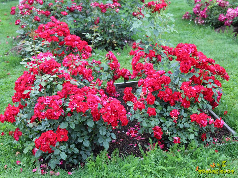 zdrava vrtnica