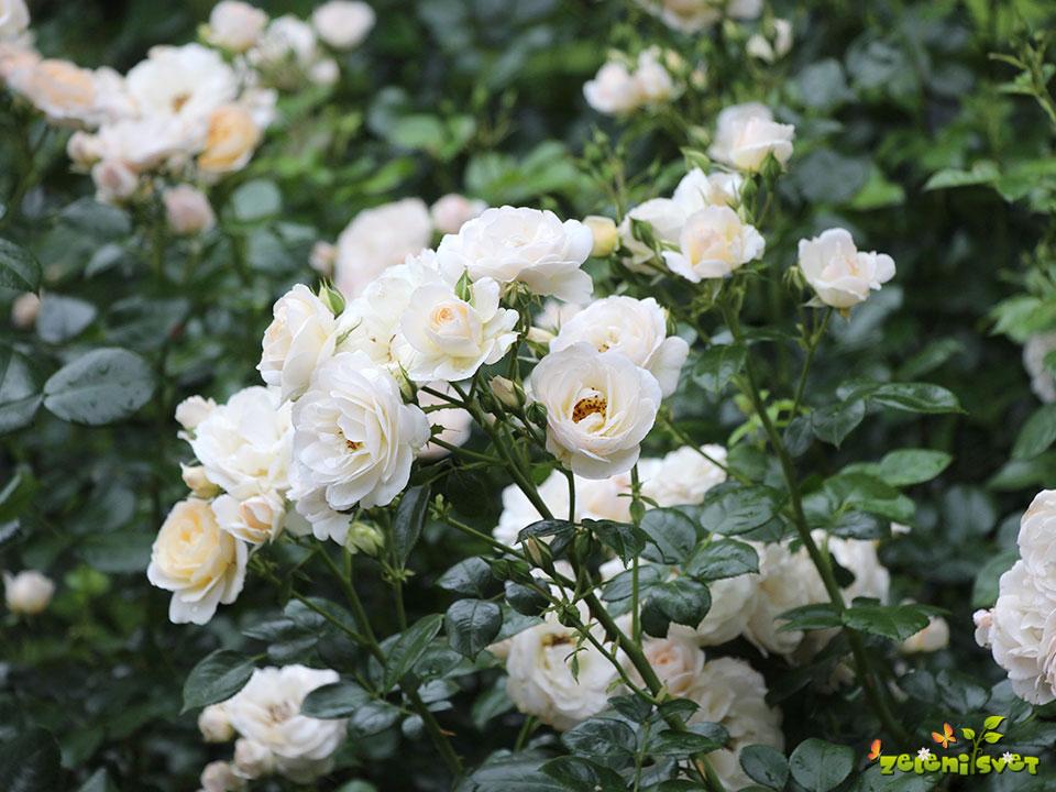 vrtnica ljubljana