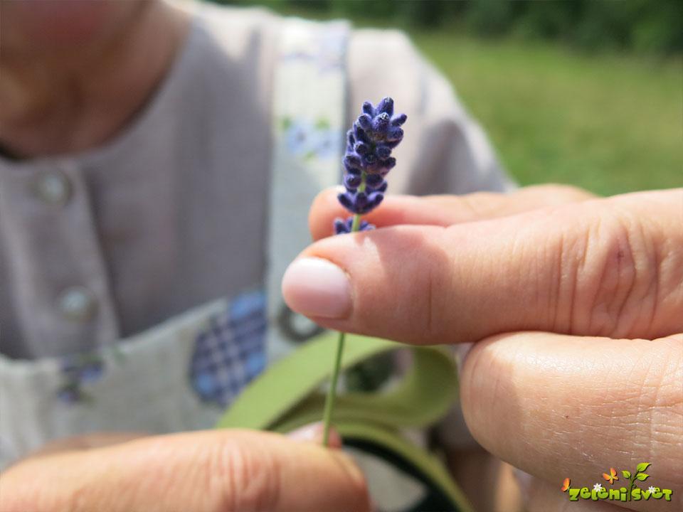 sivka cvet