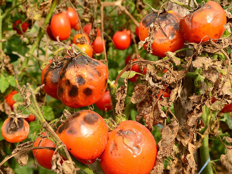 Paradižnik in EKO rešitve za krepitev rastlin pred plesnijo