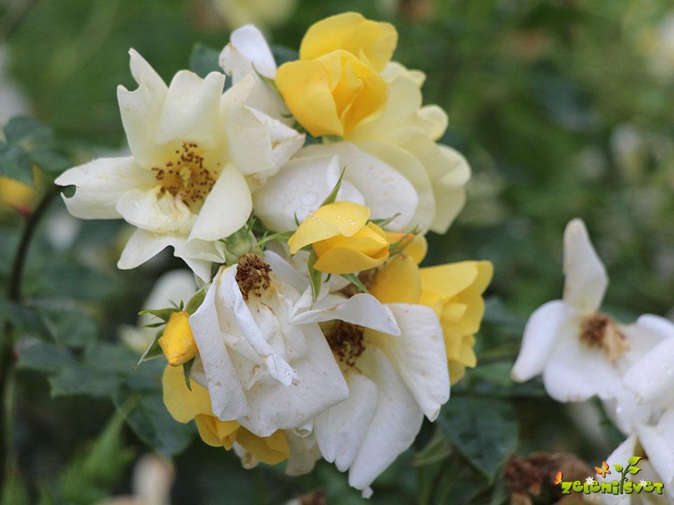 Liliane Foly vrtnica