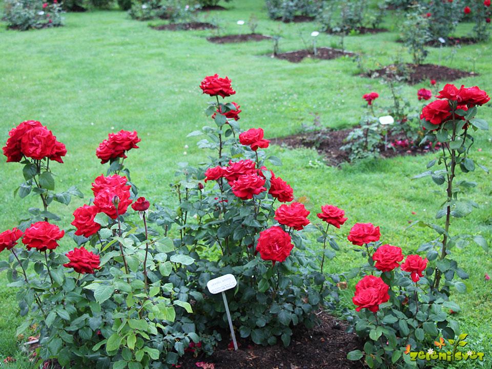 vrtnica čajevka grande