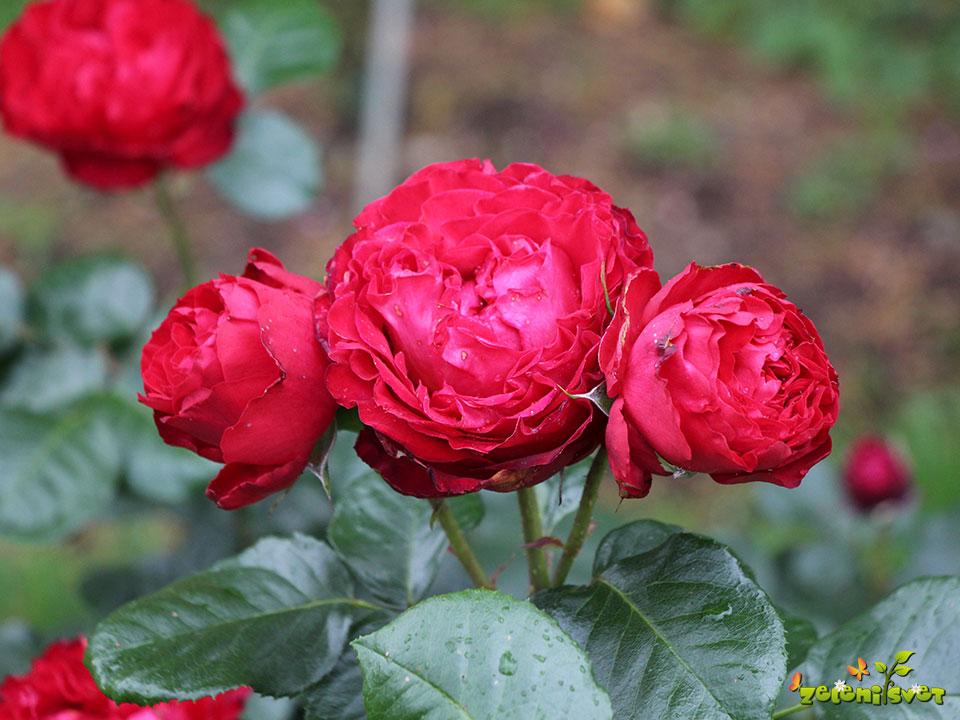 vrtnica čajevka traviata