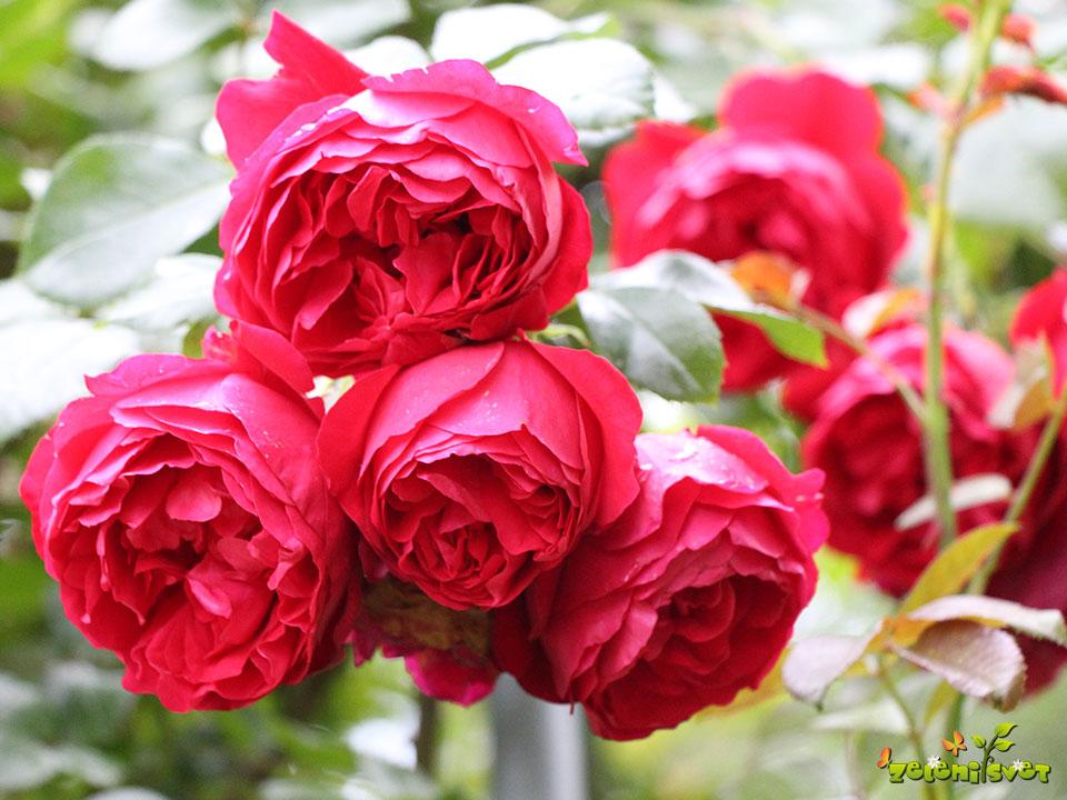 rdeča vrtnica
