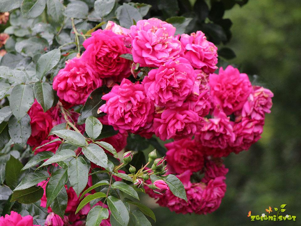 10 najlepših sort vrtnic, ki so zdrave in rastejo v domačih vrtovih