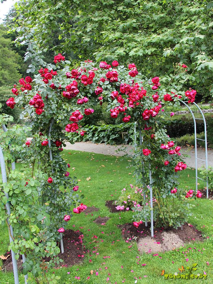 vrtnice popenjavke