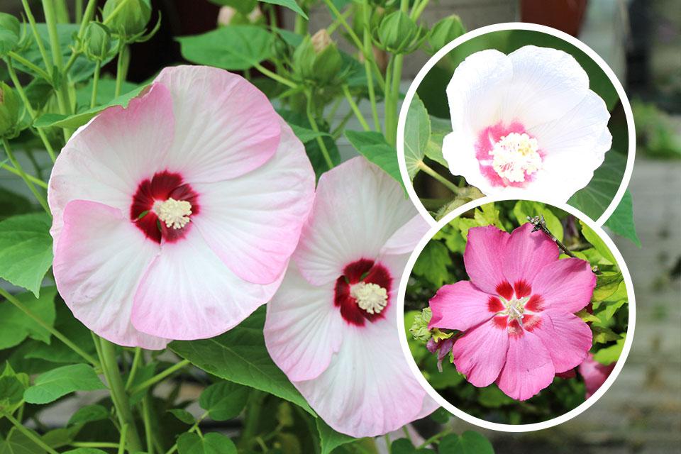 Močvirski hibiskus, sirski ali kitajski oslez in ostali cvetoči hibiskusi